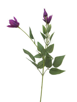 Clematis Moser purple 74 cm