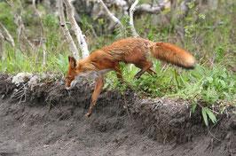 Fuchs Prüfungswild (bis 3,5-5,5 kg)