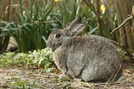 Kaninchen Standard Qualität