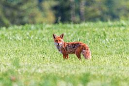 Fuchs zur Übung (über 5,5kg)