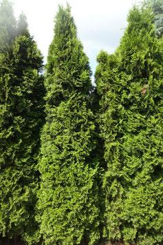 2st. Thuja Smaragd im Topf 100-125cm XXL reine Pflanzenhöhe %