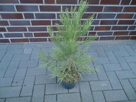 1st. Mammutbaum im Topf  40 - 60cm