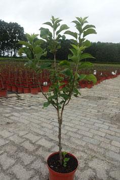 1st. Apfelbaum im großen Topf