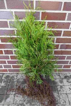 Lebensbaum / Wurzelware 80 - 100cm