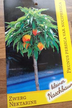 1st. Nektarinenbaum im großen Topf