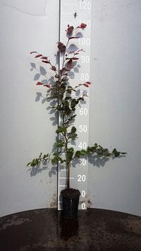 Blutbuche im Topf 80 - 120cm