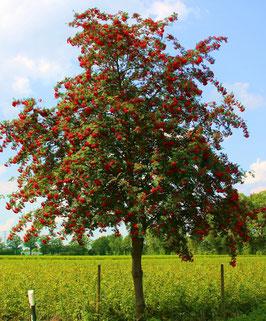 1st.   Eberesche Sorbus aucupa 150-180cm