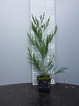 1st. Mammutbaum Sequoiadendron giganteum  im Topf 10 - 15cm