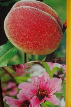 1st. Pfirsich Baum Prunus persica kräftig gewachsen im großen Topf inkl Dünger