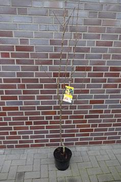 1 st.Nashi Birne Obstbaum kräftig gewachsen im großen Topf inkl Dünger