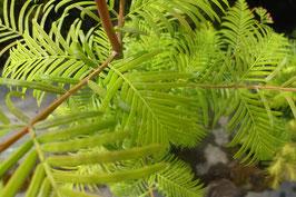 1st.  Urwelt - Mammutbaum Metasequoia glyptostroboides 60-80cm wurzelware
