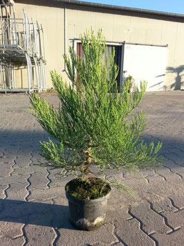 Mammutbaum im Topf  80 - 100cm