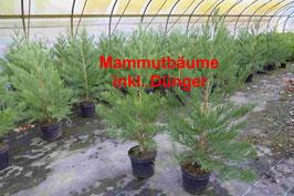 1st. Mammutbaum im Topf  60 - 80cm inkl. Dünger