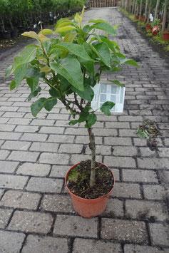 1st. Birnenbaum im großen Topf