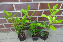 1 st. Kirschlorbeer  Rotundifolia (schnellwachsend)  25 - 35cm im Topf