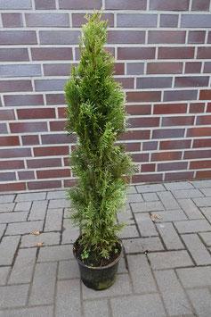 1st. Thuja Smaragd im Topf 60 - 80cm ohne Topf gemessen
