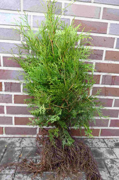 Lebensbaum / Wurzelware 100 - 125cm