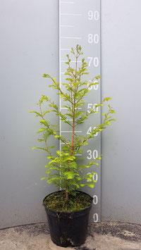 1st.  Urwelt - Mammutbaum Metasequoia glyptostroboides 60 - 80cm im Topf