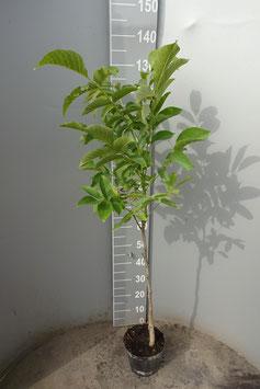 1st. Walnussbaum im Topf 80-100cm