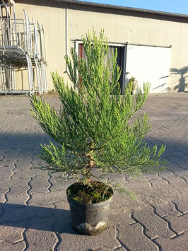 1st. Mammutbaum im Topf  100 - 125cm