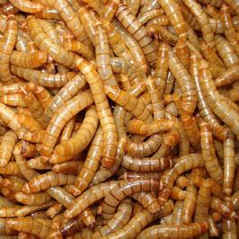Mehlwurm gross