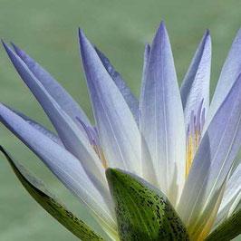 Blauer Lotus 4% Extrakt