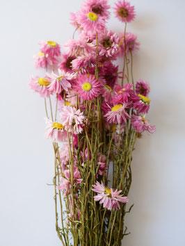 Strohblume Rosa- 1 Bund