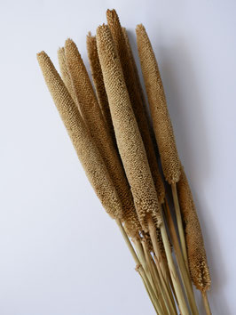 Getrocknetes Babala- Senf Gelb