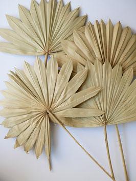Palmwedel Natur Groß