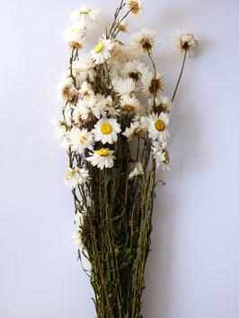 Strohblume Weiß- 1Bund
