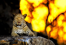 Leopard with sunset