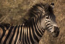 Zebra sepia