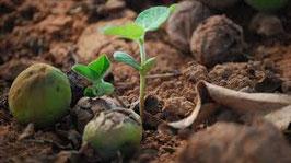 Plant een karitéboom
