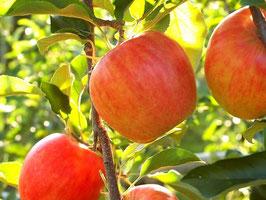 台湾へ発送 青森産 蜜入(2019年12月末頃のお届け) サンふじりんご10kg(32~36玉)   到台灣含發送青森生產蜜的(打算送2019年12月下旬左右)太陽富士蘋果10kg(32~36個装)