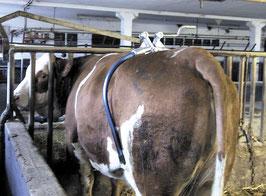 Hüftfessel für Kühe Amerika