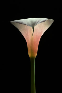 Photoprint Calla #1