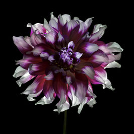 Photoprint Dahlia roze wit