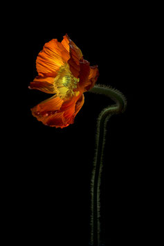 Photoprint Papaver oranje
