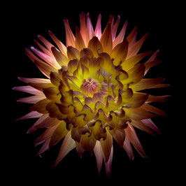 Photoprint Dahlia yellow and pink