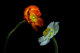 Photoprint Papaver duo