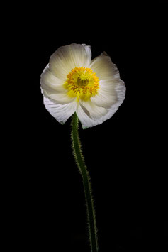 Photoprint Papaver front
