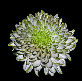 Photoprint Chrysant