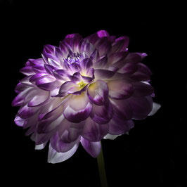 Photoprint Dahlia paars wit