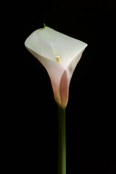 Photoprint Calla #3