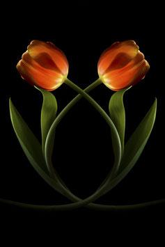 Tulp duo