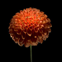 Photoprint Dahlia kogel oranje