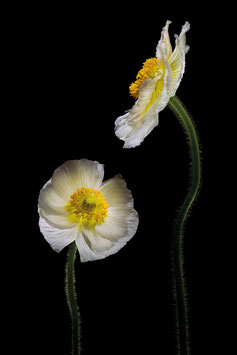 Photoprint Papaver duo white