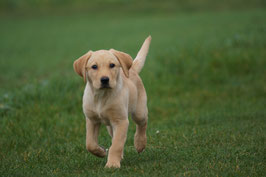 Futterplan für Welpen und Junghunde
