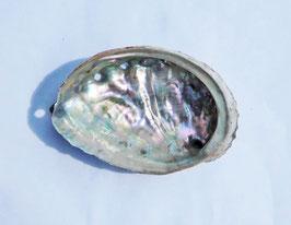 -アワビ貝殻(原貝)-