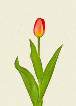 Tulpe#8